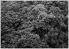 Palm trees and tropical flowers on hillside. Big Island, Hawaii, USA ( black and white)