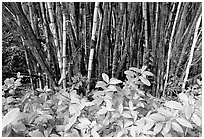 Bamboo grove. Akaka Falls State Park, Big Island, Hawaii, USA ( black and white)