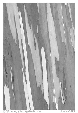 Bark of Mindanao Gum Tree displaying rainbow of colors. Maui, Hawaii, USA (black and white)