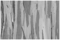 Bark of Rainbow Eucalyptus (Eucalyptus deglupta) tree. Maui, Hawaii, USA ( black and white)