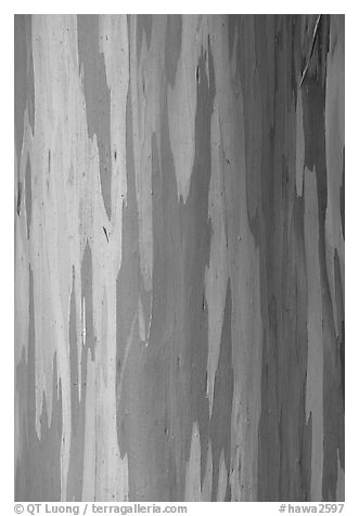 Multicolored bark of a Rainbow Gum tree. Maui, Hawaii, USA (black and white)