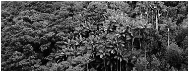 Landscape with tropical vegetation. Big Island, Hawaii, USA (Panoramic black and white)