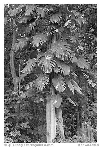 Philodendron vine, Hoomaluhia Park Botanical Gardens. Oahu island, Hawaii, USA (black and white)