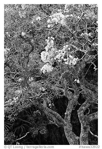 Tree with yellow blooms. Oahu island, Hawaii, USA (black and white)