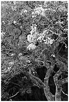 Tree with yellow blooms. Oahu island, Hawaii, USA ( black and white)