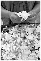Hands holding fresh flowers, while making a lei, International Marketplace. Waikiki, Honolulu, Oahu island, Hawaii, USA ( black and white)