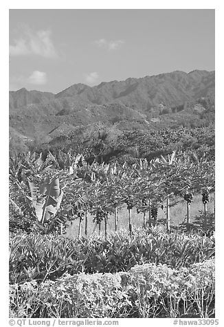 Fruit trees, hills, and mountains, Laie, afternoon. Oahu island, Hawaii, USA (black and white)