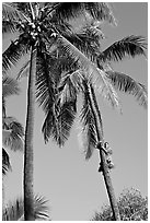 Coconut trees, with Samoan man climbing. Polynesian Cultural Center, Oahu island, Hawaii, USA ( black and white)