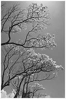 Branches of yellow trumpet trees (Tabebuia aurea). Kauai island, Hawaii, USA (black and white)