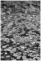 Blue aquatic flowers and water lilies. Kauai island, Hawaii, USA (black and white)