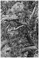 Ohia Tree with gnarled branches and red Lihua flowers, Waimea Canyon. Kauai island, Hawaii, USA (black and white)