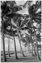 Palm tree grove, Kapaa, early morning. Kauai island, Hawaii, USA ( black and white)
