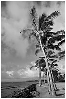 Palm trees and ocean, Kapaa, early morning. Kauai island, Hawaii, USA ( black and white)