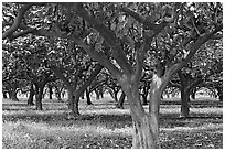 Guava tree orchard. Kauai island, Hawaii, USA (black and white)