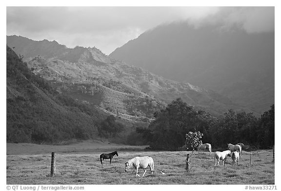 Horses and mountains near Haena. North shore, Kauai island, Hawaii, USA (black and white)