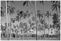 Coconut tree grove near Kapaa. Kauai island, Hawaii, USA (black and white)