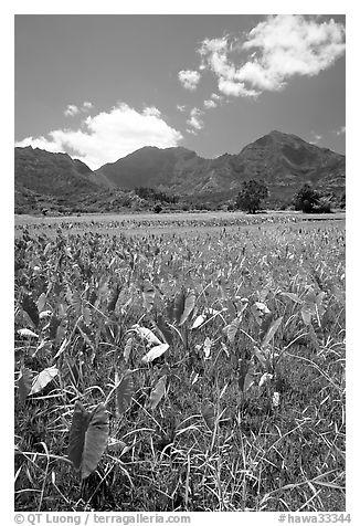 Taro plantation in  Hanalei, morning. Kauai island, Hawaii, USA (black and white)