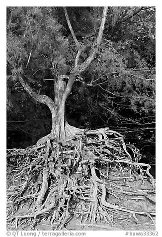 Tree with exposed roots, Kee Beach, late afternoon. North shore, Kauai island, Hawaii, USA