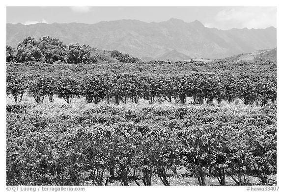 Coffee field. Kauai island, Hawaii, USA (black and white)
