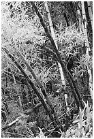 Lush grove of Bamboo. Akaka Falls State Park, Big Island, Hawaii, USA ( black and white)