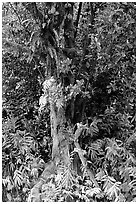 Breadfruit tree with fruits. Akaka Falls State Park, Big Island, Hawaii, USA ( black and white)