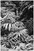 Lush ferns, flowers and waterfall. Akaka Falls State Park, Big Island, Hawaii, USA ( black and white)