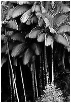 Grove of palm trees (Archontophoenix alexandrae)   on hillside. Big Island, Hawaii, USA (black and white)