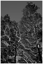 Koa trees. Big Island, Hawaii, USA (black and white)