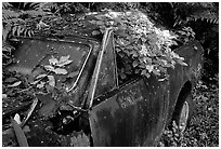 Rusted  truck colonised by flowers. Maui, Hawaii, USA (black and white)