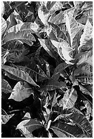 Close-up of yellow and red tropical leaves. Maui, Hawaii, USA (black and white)