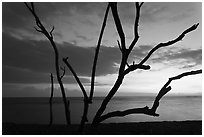 Tree skeleton and Honokohau Bay, sunset, Kaloko-Honokohau National Historical Park. Hawaii, USA (black and white)