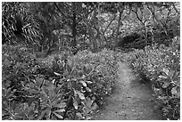 Trail in forest, Waipio Valley. Big Island, Hawaii, USA (black and white)