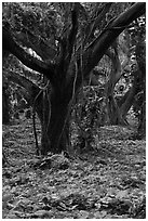Lianas and rainforest trees. Maui, Hawaii, USA (black and white)