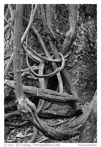 Lianas and tree trunk. Maui, Hawaii, USA (black and white)