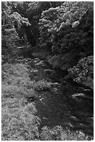Honokohau creek flowing through forest. Maui, Hawaii, USA (black and white)