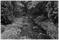 Creek through tropical forest. Maui, Hawaii, USA (black and white)