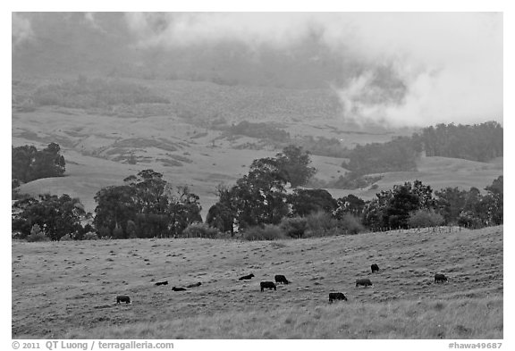 High country pastures with cows. Maui, Hawaii, USA (black and white)