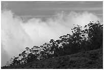 Row of trees above clouds. Maui, Hawaii, USA ( black and white)
