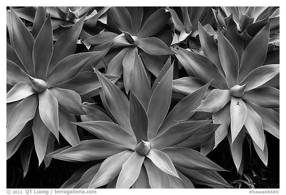 Cluster of agaves. Maui, Hawaii, USA (black and white)