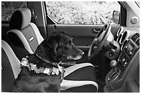 Dog with lei sitting in car. Maui, Hawaii, USA (black and white)