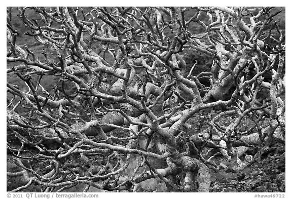 Bare twisted and ramified tree branches. Maui, Hawaii, USA (black and white)