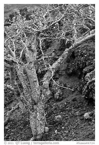 Tree and lava field. Maui, Hawaii, USA (black and white)