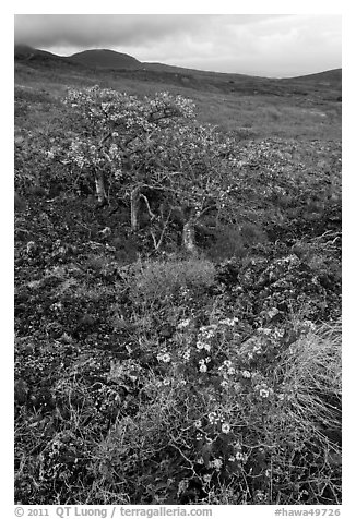 Flowers and tree in lava flow. Maui, Hawaii, USA (black and white)