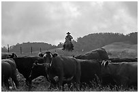 Paniolo cowboy overlooking cattle. Maui, Hawaii, USA (black and white)