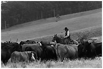 Cowboy rounding up cattle herd. Maui, Hawaii, USA (black and white)