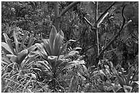 Tropical vegetation along Kalalau trail. Kauai island, Hawaii, USA (black and white)