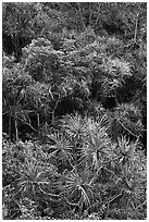 Pandanus trees on slope. Kauai island, Hawaii, USA ( black and white)