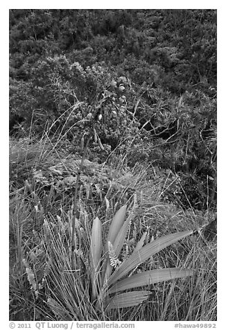 Orchid, Kalalau trail. Kauai island, Hawaii, USA (black and white)