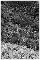 Ferns,  Pandanus trees and steep slope, Na Pali coast. Kauai island, Hawaii, USA (black and white)