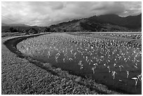 Taro farming, Hanalei Valley, morning. Kauai island, Hawaii, USA (black and white)